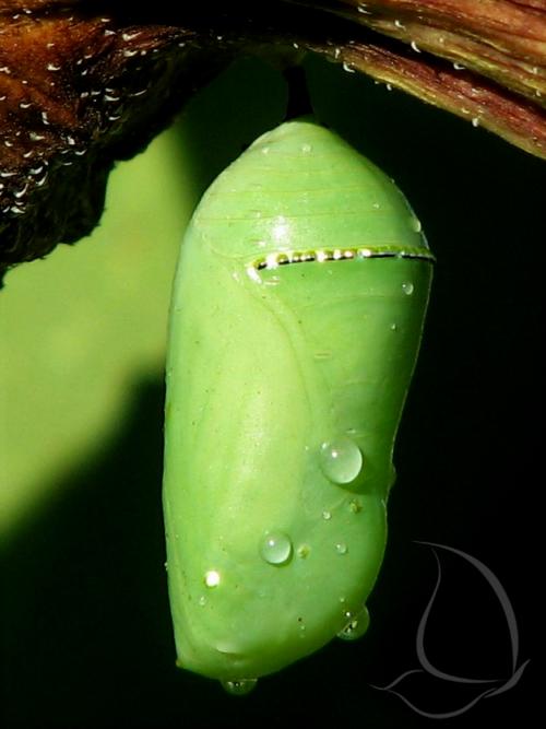 Monarch chrysalis, green
