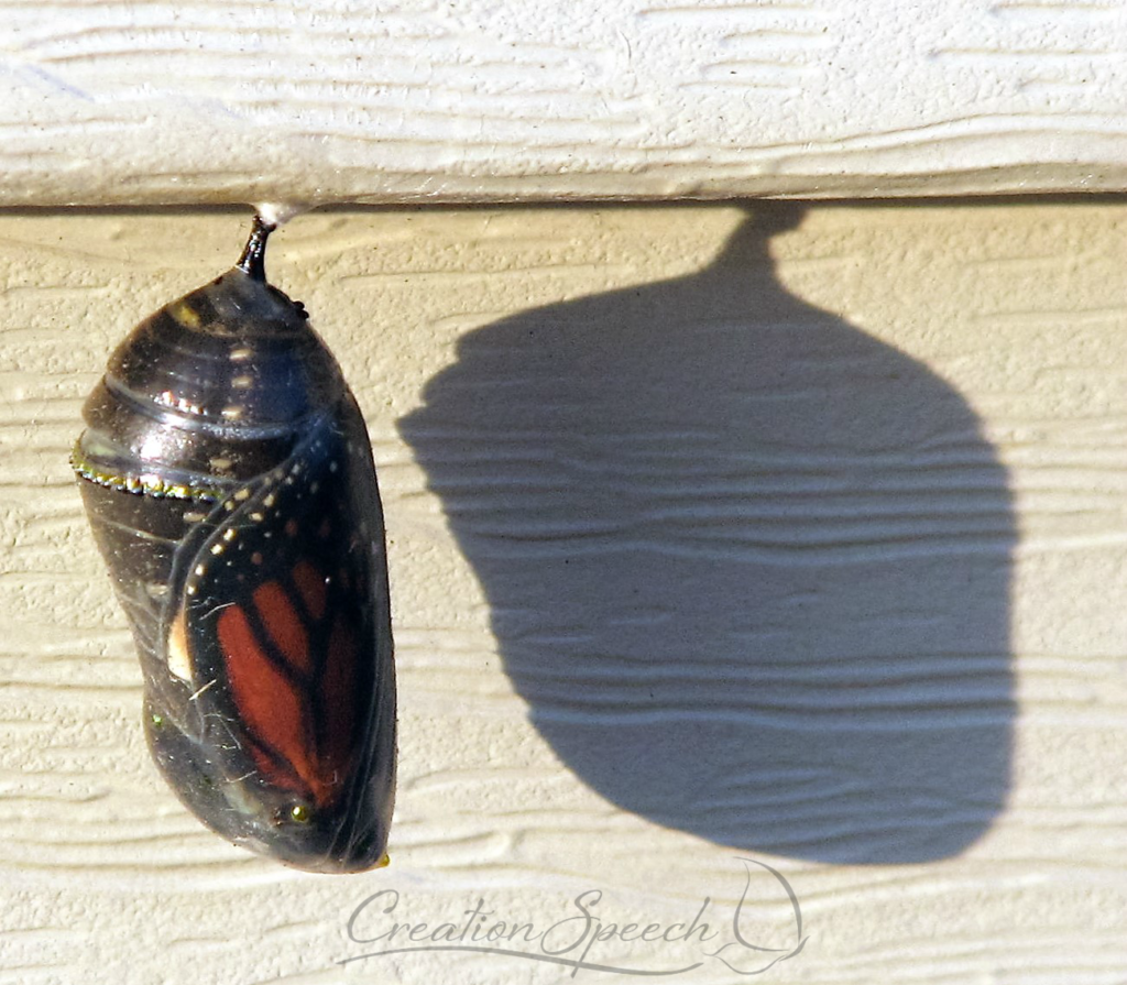 Monarch visible within clear thin layer of chrysalisMonarch chrysalis