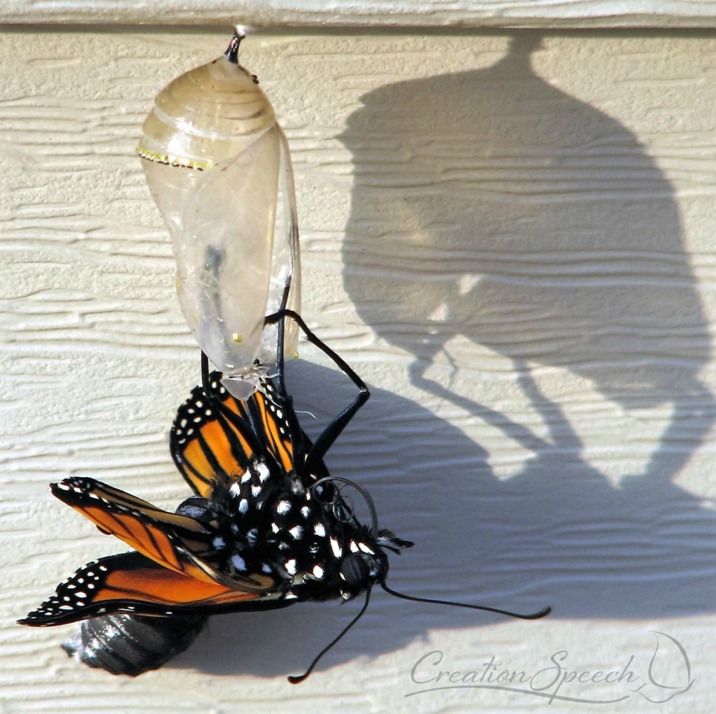 Monarch just emerged from chrysalis