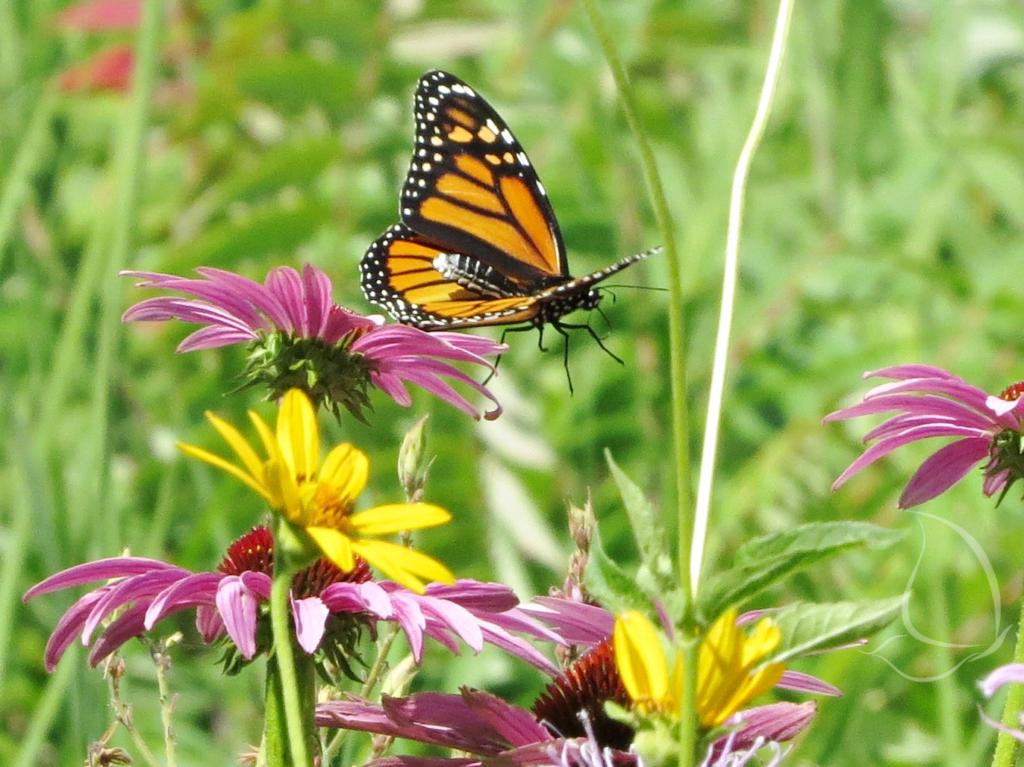 Monarch in flight - abdomen rises as wings lower