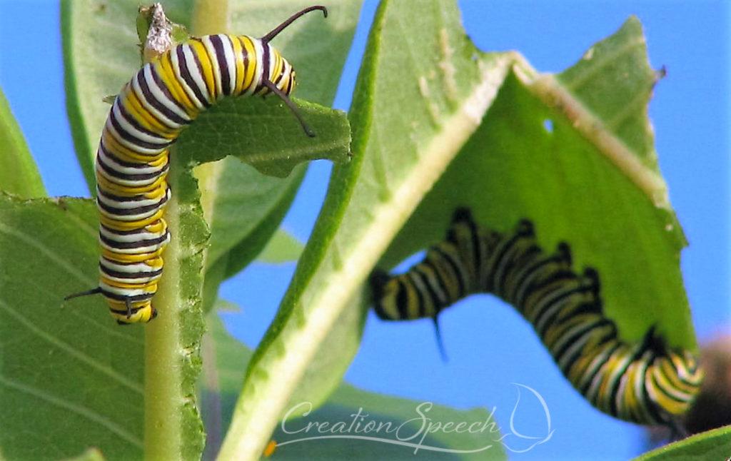 Monarch larva on milkweed