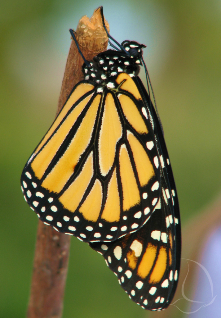 Monarch resting as wings dry