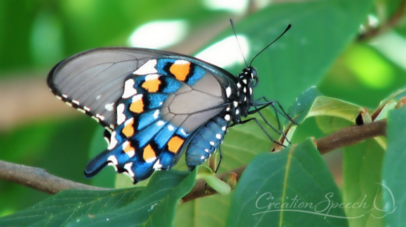 Pipevine Swallowtail iridescent