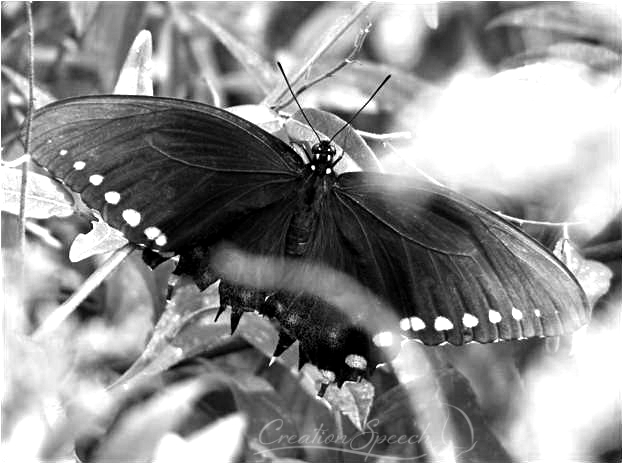 Black Swallowtail Nipped by Birds