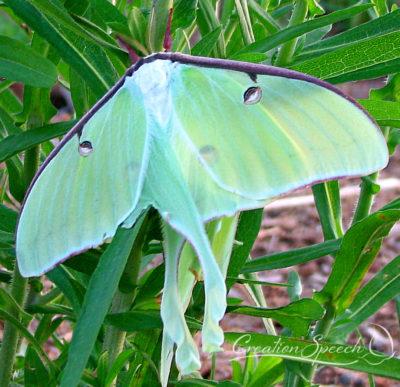 Female Luna Moth