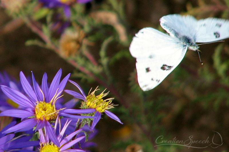 Western White Butterfly in Flight
