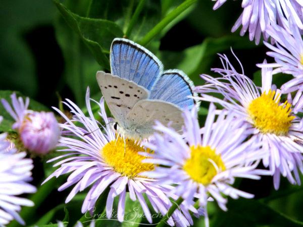 Boisduval's Blue butterfly