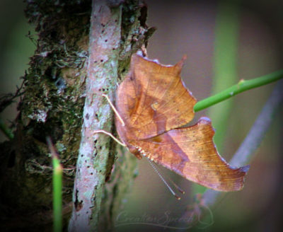 Comma Butterfly Camouflaged as Leaf