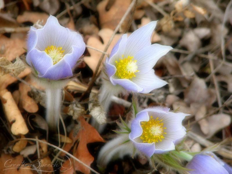Pasque flowers, soft-focus