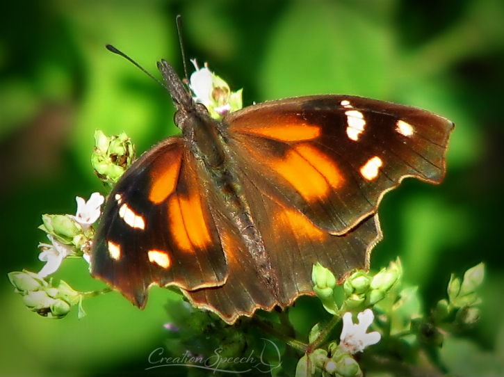 """Have you not known? have you not heard? The LORD is the everlasting God, the Creator of the ends of the earth."""" Isaiah 40:28. By God's mercy, American Snout Butterfly is protected by behavioral and structural instincts. By God's mercy, American Snout Butterfly is protected by behavioral and structural instincts."""
