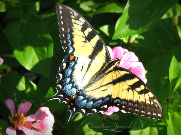Female Eastern Tiger Swallowtail. Colorful.