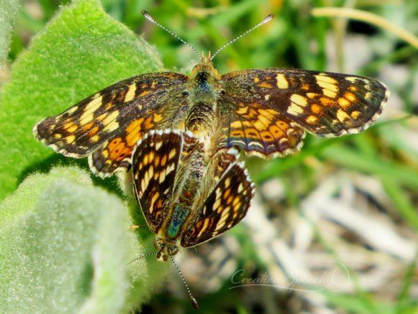 Field Crescent butterflies mating