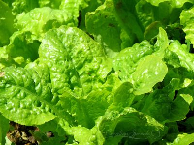 Lettuce flourishing in the garden