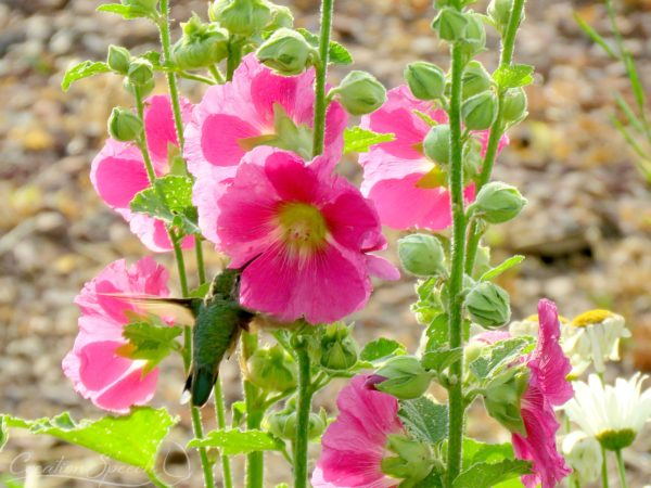 Hummingbird sees and tastes that the LORD is good through Hollyhock flower. Psalm 34:8
