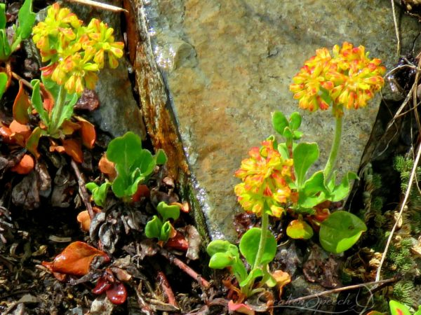 Sulfur Buckwheat, Poverty Gulch, Crested Butte, CO