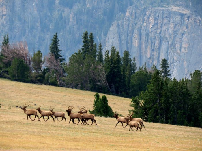 Elk easily moving on the heights, Beartooth mtns, WY