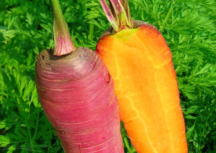 Colorful Carrots with dark orange inside are a gift from the LORD.