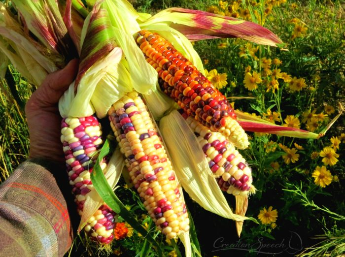 Colorful sweet corn kernels remind me of Christians status as jewels in a crown to Jesus