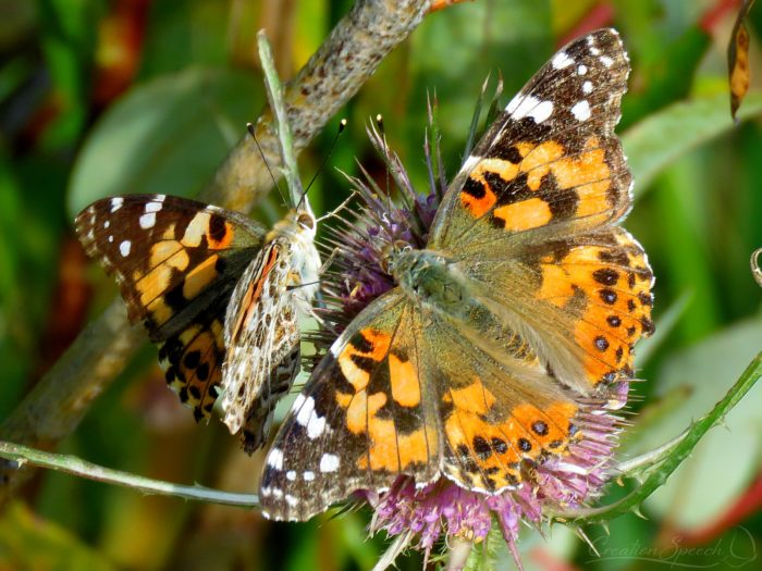 Painted Lady Butterflies on Teasel, October 5, Bear Creek Park, Colorado Springs, CO. Part of a great migration to the area.