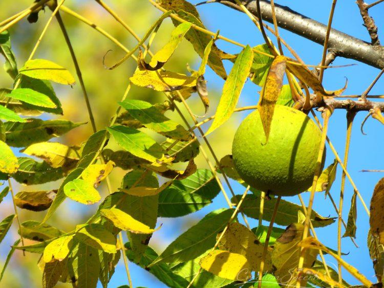Black Walnut in tree, Oct 23, 2017